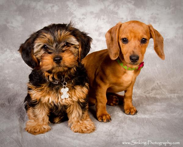 Puppy Portraits longmont boulder colorado